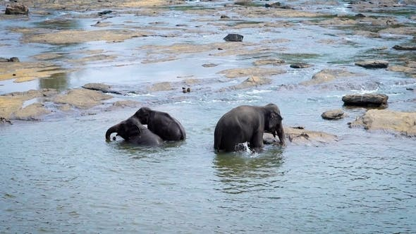 Thumbnail for Big Elephant Mother with Two Her Baby Elephants Are Bathing in a River in Sunny Day, Splashing From