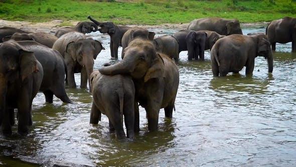 Thumbnail for Herd of Indian Elephants in the Watering Hole in Daytime, Cooling Their Bodies and Drinking Water