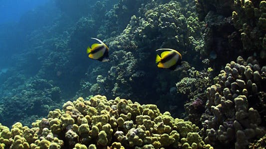 Thumbnail for Bannerfish On Coral Reef