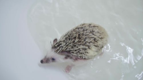Cute Pet Domesticated Hedgehogs Crawling in Water in White Bathtub