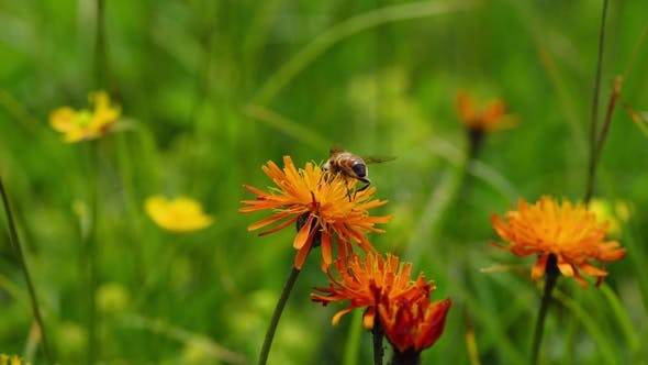 Thumbnail for Alpine Meadow. Wasp Collects Nectar From Flower Crepis Alpina