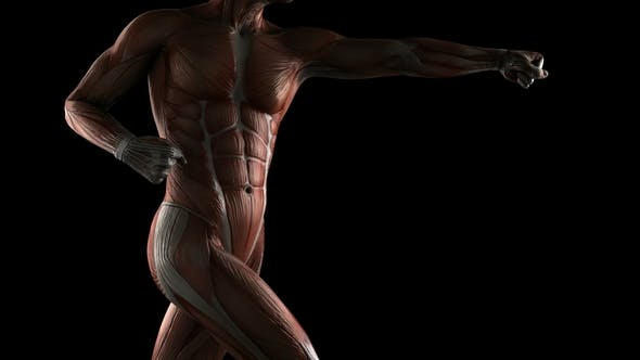 Thumbnail for Human Muscle Anatomy