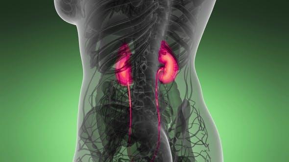 Thumbnail for Anatomy Scan of Human Kidneys