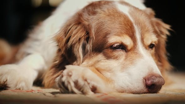 Cover Image for The Old Dog Is Dozing in the Sun. Comfort in the House