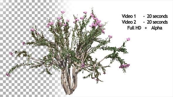 Thumbnail for Crepe Myrtle Bush