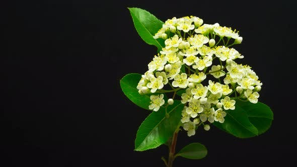Thumbnail for White Flowers Blossoming