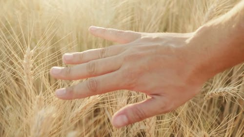 Man Farmer Grasping Wheat Spikes on the Field