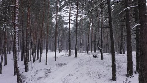 The Forest in Winter Period