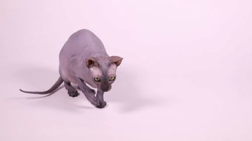 Don Sphynx Cat Playing With Laser Pointer Beam