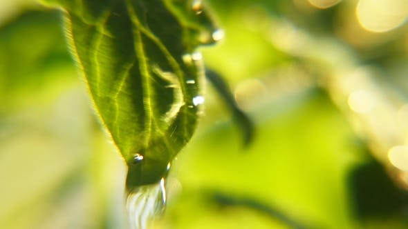 Thumbnail for Beautiful Rainy Droplets Trinkle on Growing Leaves in a Park on a Sunny Day in Spring
