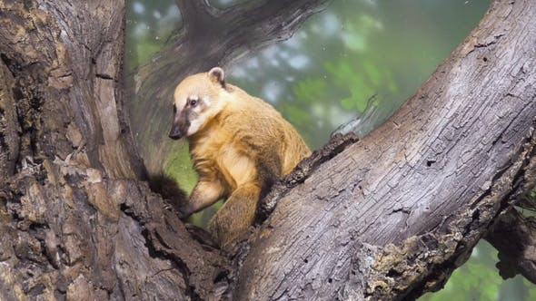 Thumbnail for Animal on a Branch. Nasua, Coati, Wild Animal