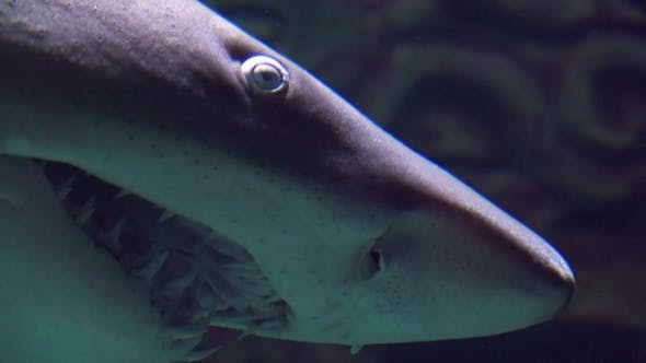 Ragged-tooth Shark while Swimming Past