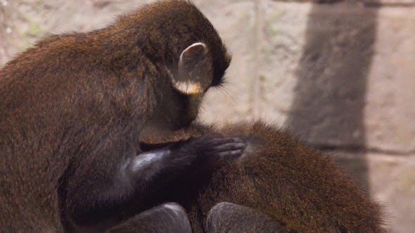 Thumbnail for Macaque Assisting Other Monkey To Clean Fleas From Fur. Amazing Animal Behavior