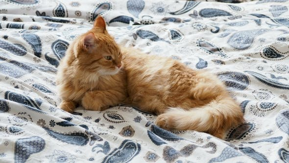 Cute Ginger Cat Lying in Bed. Fluffy Pet Is Going To Sleep. Cozy Home Background