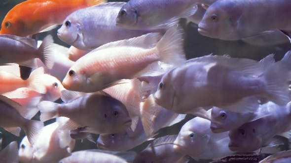 Thumbnail for Colorful Aquarium Fishes Running on Food in