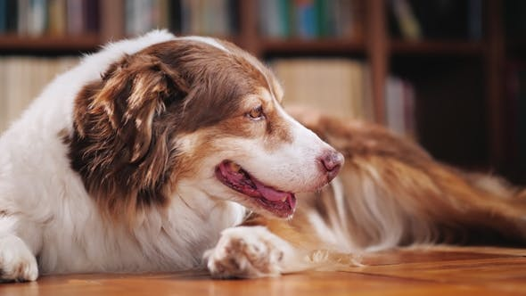Thumbnail for A Dog of the Australian Shepherd Breed Lays on the Floor in the Library. Lovely Pets Concept