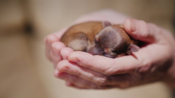 Cover Image for A Newborn Puppy Lies in the Palms of the Hands. Protection and Care Concept