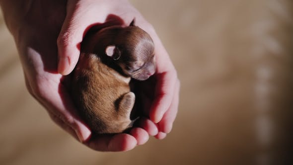 Thumbnail for A Small Newborn Puppy Sleeps in the Palm of Your Hand