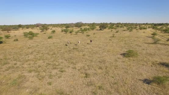 Thumbnail for Aerial drone view of a herd of ostriches wild animals in a safari in Africa plains.
