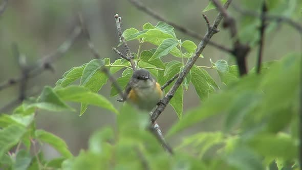 American Redstart Female Adult Lone in Spring in South Dakota