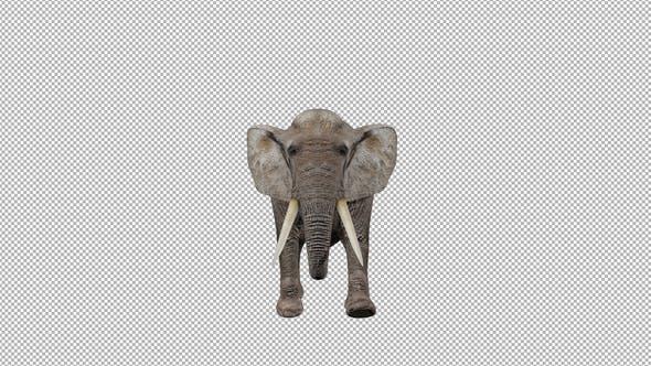 Elephant Walk to Camera