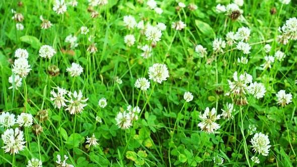 Thumbnail for White Clover Flowers Field. Clover Field in the Garden.