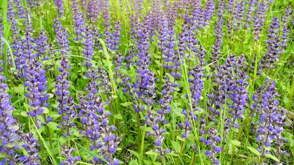 Thumbnail for Beautiful Summer Field with Blue and Purple Flowers and Grass.