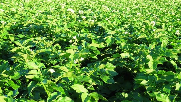 Thumbnail for Beautiful Blooming Potato Field, Rural Scene
