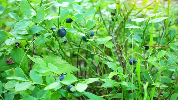 Thumbnail for Fresh Blue Berries in a Forest. Raw Fresh Blueberries