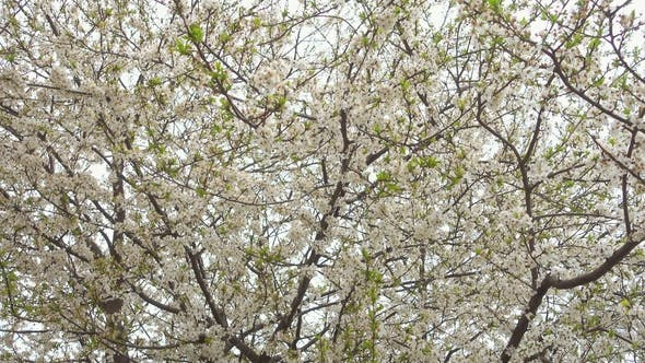 Thumbnail for Beautiful Blooming Cherry Tree