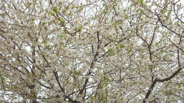 Beautiful Blooming Cherry Tree