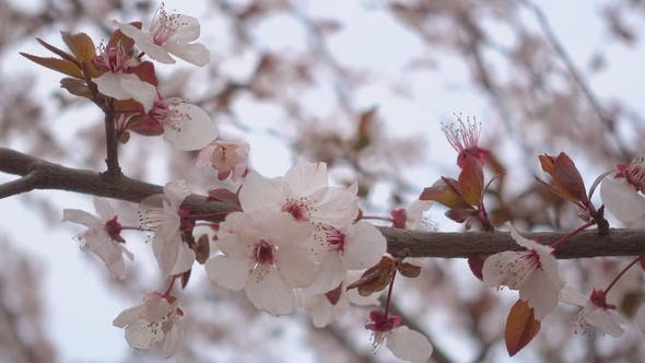 Thumbnail for Beautiful Blooming Apricot Flowers on a Branch