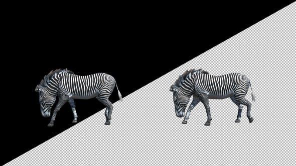 Thumbnail for Zebra Walk
