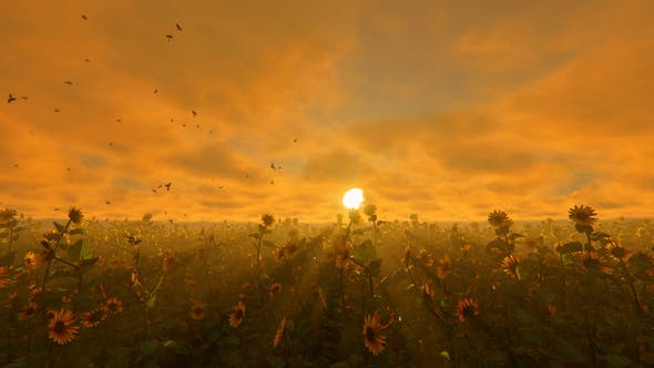Thumbnail for Field Of Sunflowers At Sunset