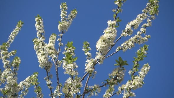 Thumbnail for Beautiful Blooming Apple Tree and Clear Blue Sky.