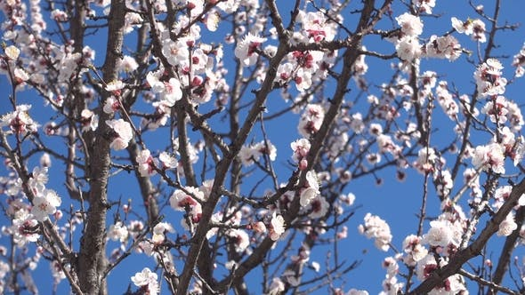 Thumbnail for Spring Garden, Blooming Apricot Tree and Bees.