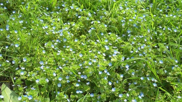 Thumbnail for Beautiful Small Blue Flowers and Green Grass, Lawn