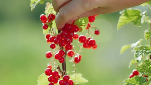 Thumbnail for Harvest Red Currant. Female Hands Pluck Berries,