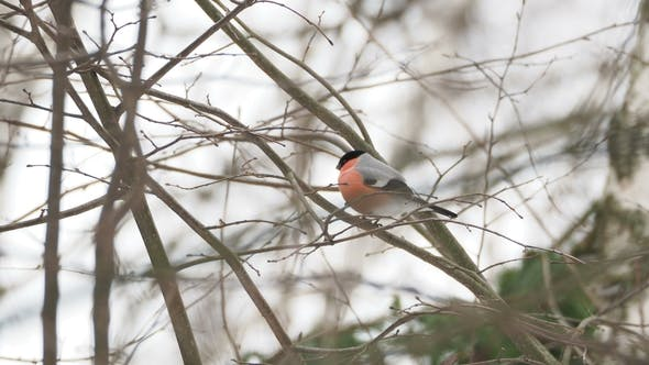 Thumbnail for Male Bullfinch Sitting on the Branch in Winter Forest
