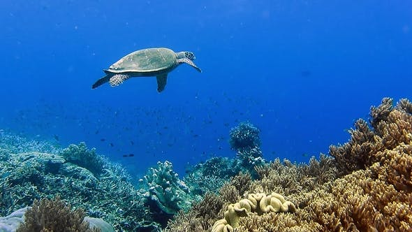 Thumbnail for Hawksbill Sea Turtle Swimming Over Hard and Soft Coral Reef in the Raja Ampat Kri Island, West Papua