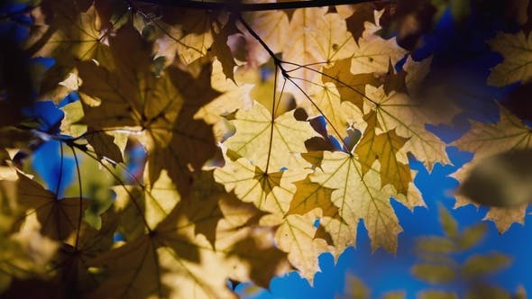 Cover Image for A Branch of Yellow Autumn Leaves