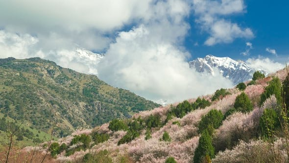 Cover Image for On the Mountain Spring Slopes Grow Wildly Flowering Fruit Trees in