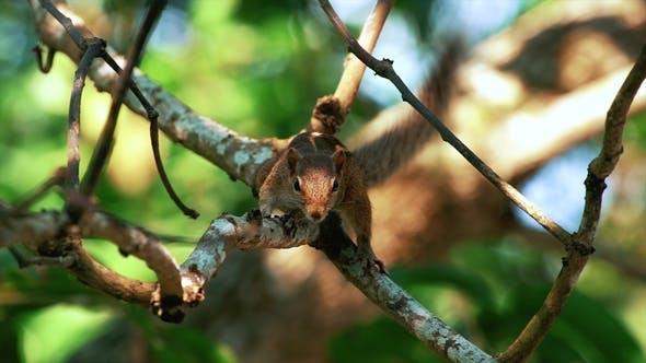 Thumbnail for Poas Squirrel Costa Rica