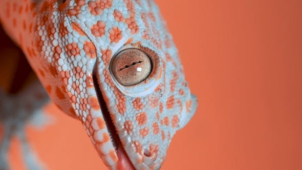 Thumbnail for Gecko on the Orange Wall