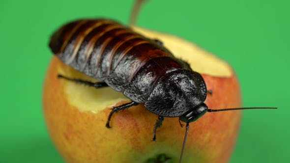 Thumbnail for Madagascar Cockroach Sits on an Apple