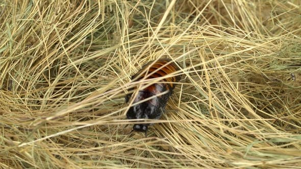 Cockroach Crawls on the Hay and Sawdust