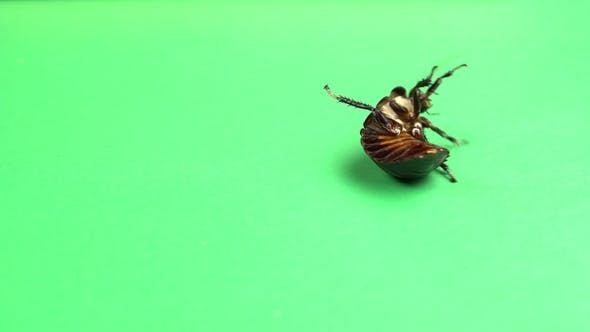 Thumbnail for One Cockroach Spinning on Its Back and Trying To Stand on Its Paws