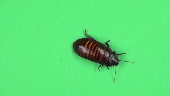 Thumbnail for Madagascar Cockroach Crawls