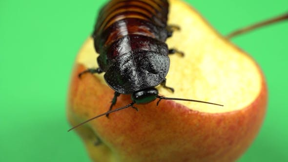 Thumbnail for Madagascar Cockroach Sits on an Apple and Eats It