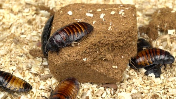 Thumbnail for Madagascar Cockroaches Creep Filth